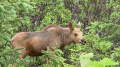 Moose Calves Browsing Stock Footage