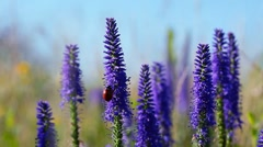 Ladybird and violet ears Stock Footage