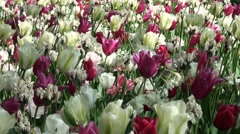 Flurry of tulips Stock Footage