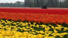 Working the tulip fields using a machine - stock footage