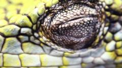 Berthold's Bush Anole (Polychrus gutturosus spurrelli) Stock Footage