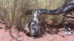 P01461 White-tailed Antelope Ground Squirrel Stock Footage