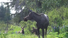 P01472 Moose Cow and Two Young in Alaska Stock Footage
