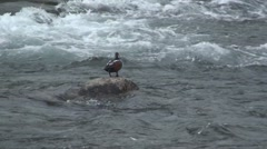 P01483 Harlequin Drake in Rapids Stock Footage
