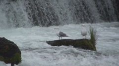 P01486 Glaucous-winged Gulls by Waterfall Stock Footage