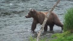 P01485 Brown Bear Walking in Brooks River Alaska Stock Footage