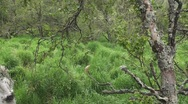 Stock Video Footage of P01487 Brown Bear Standing in Tall Grass