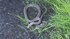 P01489 Western Terrestrial Garter Snake Stock Footage