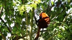 Red Panda eating bamboo (HQ 1080P) Stock Footage