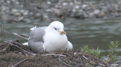 P01497 Mew Gull on Nest with Young in Alaska Stock Footage
