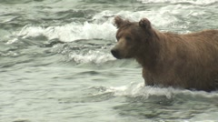 P01503 Brown Bear Fishing for Salmon Stock Footage