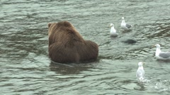 P01504 Brown Bear Eating Salmon with Gulls Nearby Stock Footage