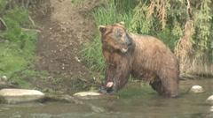 P01512 Brown Bear Eating a Sockeye Salmon Stock Footage