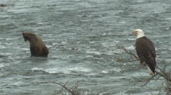 P01516 Brown Bear and Bald Eagle at Brooks River Stock Footage