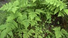P01525 Ferns in Temperate Rainforest in Alaska Stock Footage
