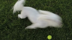 Maltese Dog Barks Plays Runs Very Fast - stock footage