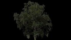 Tree 11 Stock Footage