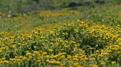Yellow flower field 1 Stock Footage