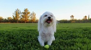Stock Video Footage of Happy Maltese Dog