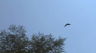 Crow fly 02 Stock Footage