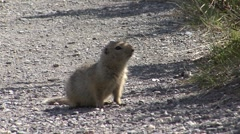 P01553 Arctic Ground Squirrel at Denali National Park - stock footage