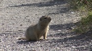 Stock Video Footage of P01553 Arctic Ground Squirrel at Denali National Park