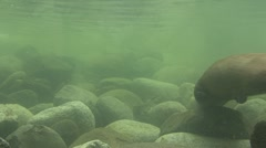 P01556 River Otter Underwater Stock Footage