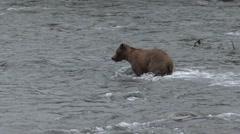 P01558 Brown Bear Running in Water Chasing Salmon Stock Footage