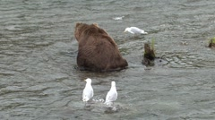 P01561 Brown Bear and Gulls Scavenging Stock Footage