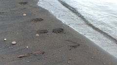 P01565 Grizzly Bear Tracks Near Shore Stock Footage