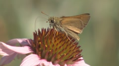 P01572 Skipper Butterfly Pollinating Flower Stock Footage
