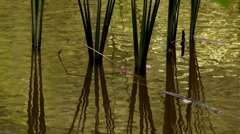 Reed  reflected in water Stock Footage