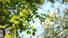 Birch in Siberian forest Stock Footage