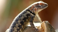 Stock Video Footage of Beautiful Lizard Eyes