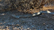 Stock Video Footage of Gopher Snake Flicks Tongue