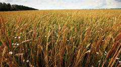 Wheat field with cloudy sky Stock Footage
