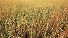 Wheat field with sky Stock Footage