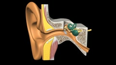 Stock Video Footage of Ear X-Section, Rotate & Zoom A
