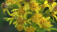 Aphid On A Flower Closeup 2 Stock Footage