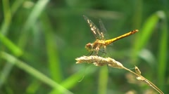 Beautiful Golden Dragonfly 2 Stock Footage