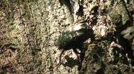 Big Beautiful Beetle Closeup 3 Stock Footage