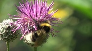 Stock Video Footage of Bumblebee Pollinating A Flower 3