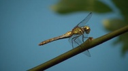 Stock Video Footage of Dragonfly Closeup