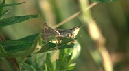 Stock Video Footage of Locust Closeup 2