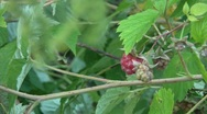 Stock Video Footage of Raspberry