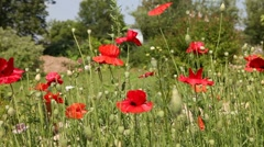 field of blooming poppies - stock footage