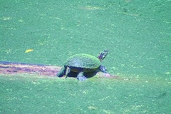 Painted turtle runs into water. Stock Footage