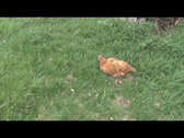 Hen in grass Stock Footage