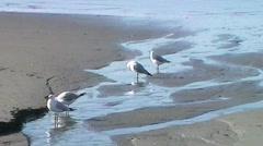 Seagulls On Sandy Beach - stock footage