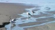Seagulls On Sandy Beach Stock Footage